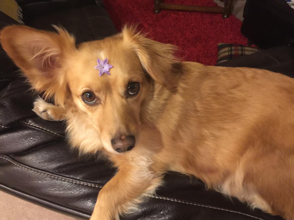 Spaniel/Doxie Dog
